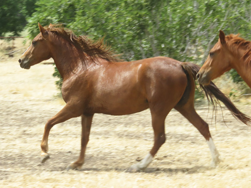 Stock for Sale | Well Trained Morgan Horses for Sale | Trail