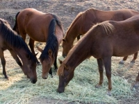 Dinnertime for the yearlings