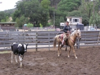 Bridle Horse training - Ariel on cows