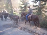 John Hutcheson & Dancer moving the herd