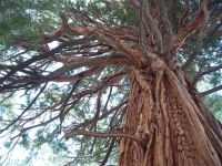 A redwood in the Sequoia National Forest