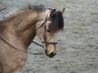 Upcoming bridle horse, Ecylipse Sundance Kid