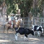 ariel-cows-1