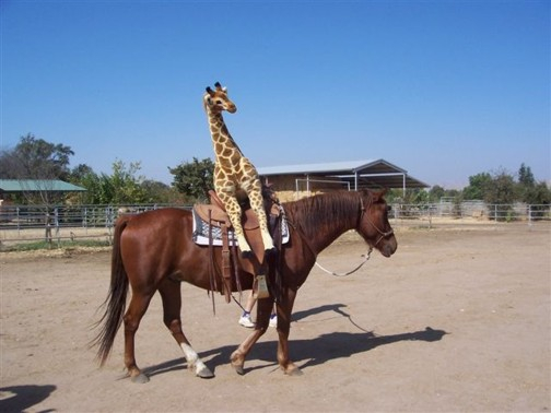 horse with stuffed giraffe in the saddle