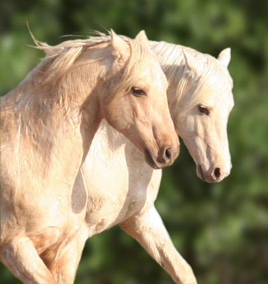 Two palomino stallions